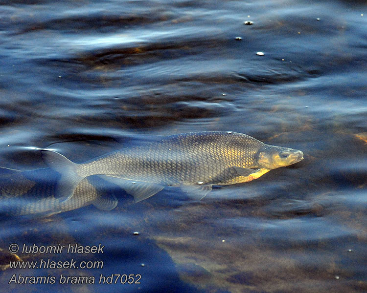 Abramis brama Carp Bream