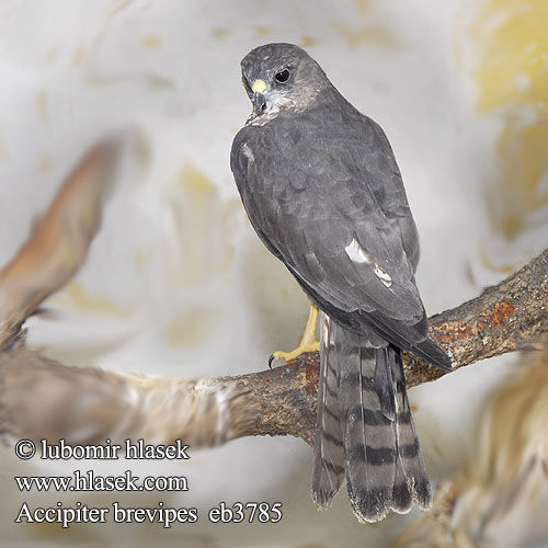 Accipiter brevipes eb3785
