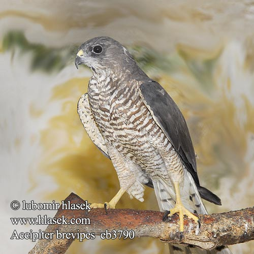 Accipiter brevipes eb3790