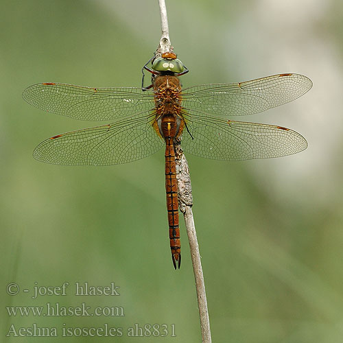 Aeshna isosceles Norfolk Green-eyed hawker