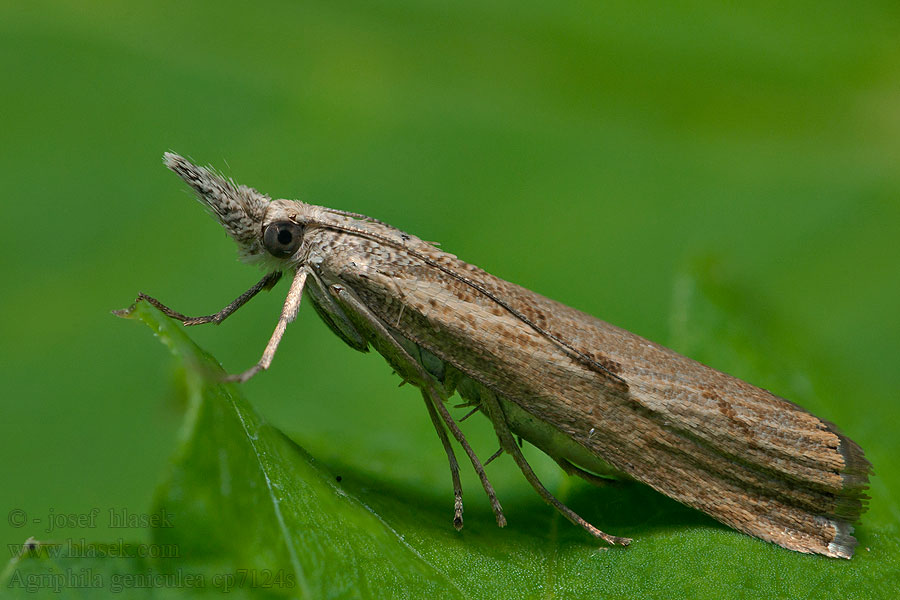 Elbow-striped Grass-veneer Agriphila geniculea