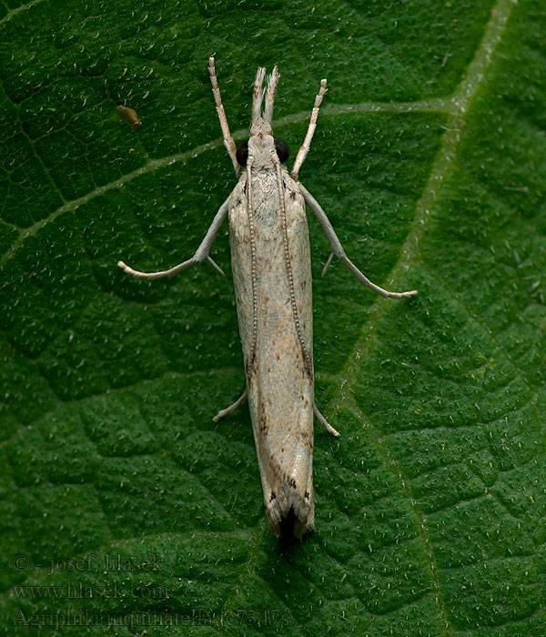 Agriphila inquinatella