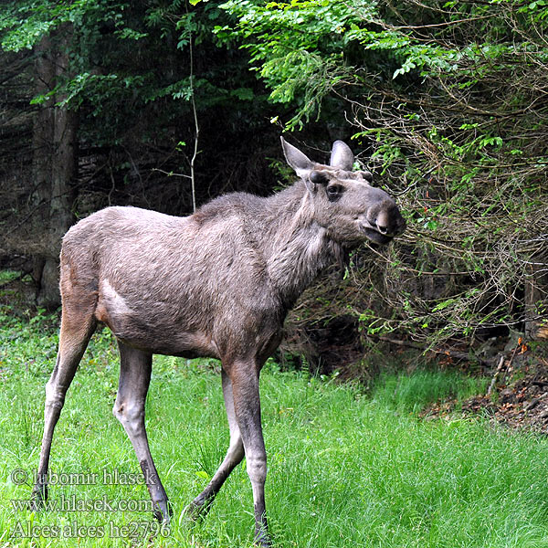 Alces_alces_he2796