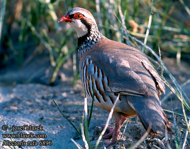 Red-legged Partridge Rothuhn Perdrix rouge