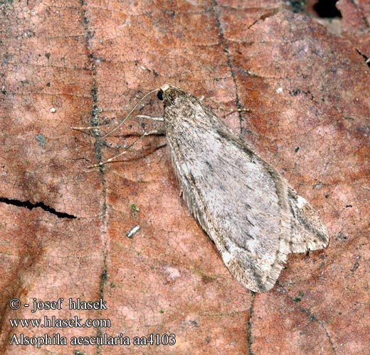 Roßkastanien-Frostspanner March Moth