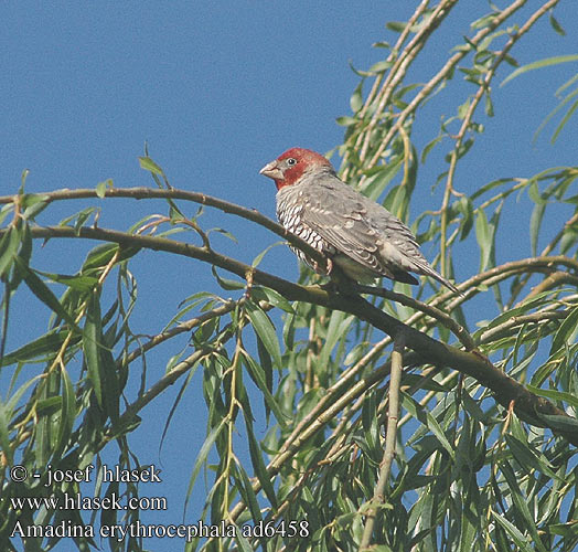 Amadina erythrocephala Red Headed Finch Rodhovedt