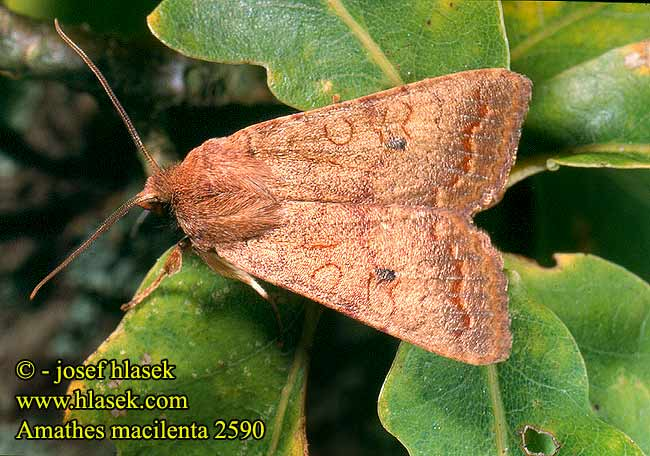Amathes macilenta