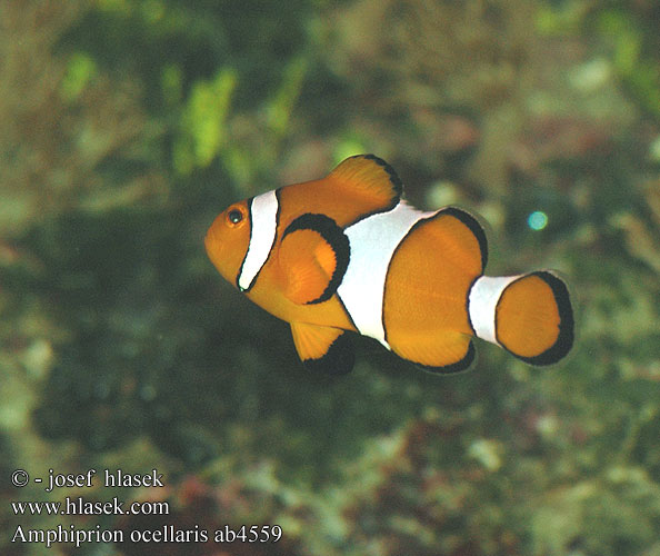 Amphiprion ocellaris Clownfish False Percula Peix pallasso