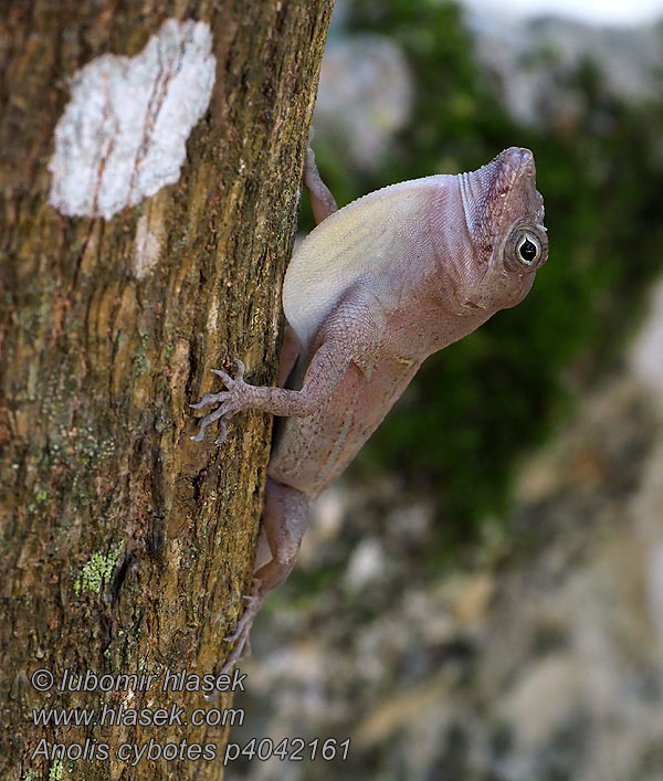 Large-headed anole