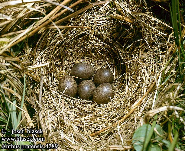 nests eggs Anthus pratensis 草地鹨 Конек луговой