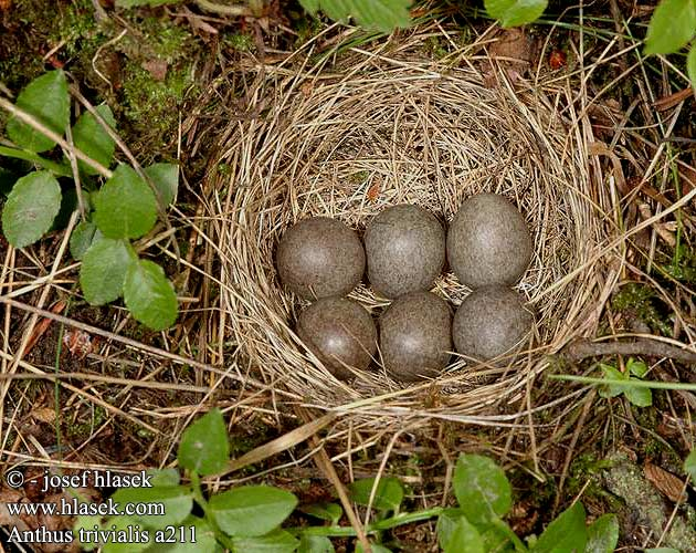 birds eggs nests Anthus trivialis 林鹨 Конек лесной