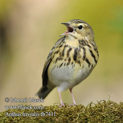 Anthus trivialis fb7411