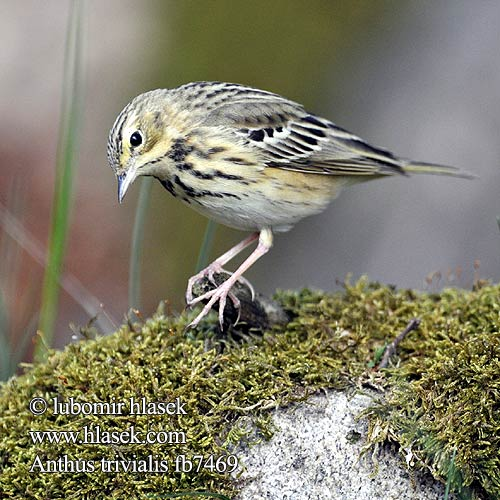 Anthus trivialis fb7469