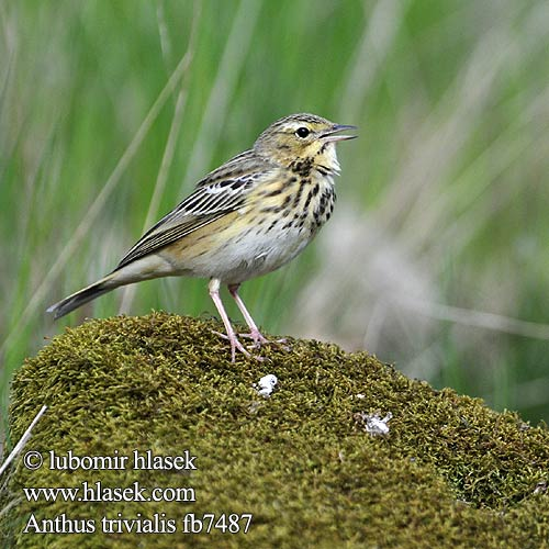 Anthus trivialis fb7487