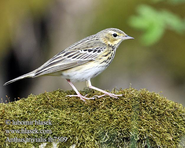 Anthus trivialis fb7509