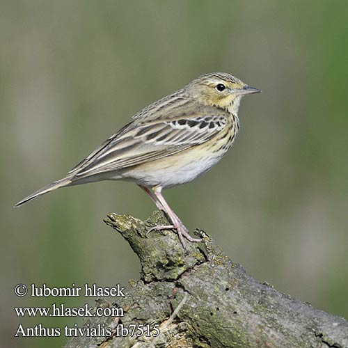 Anthus trivialis fb7515