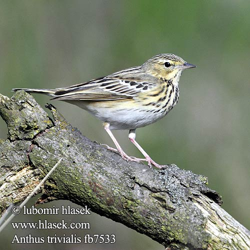Anthus trivialis fb7533