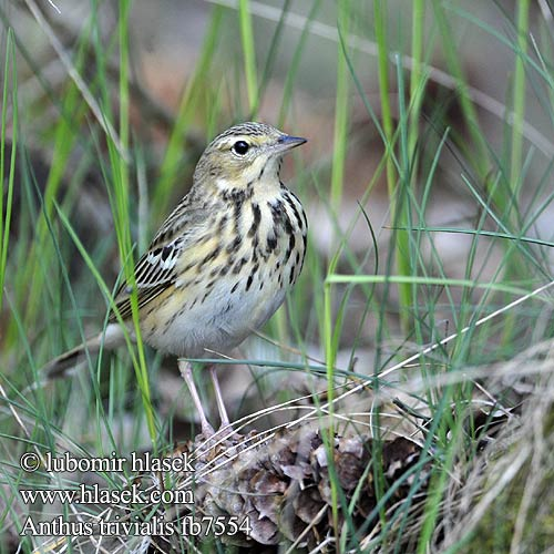 Anthus trivialis fb7554