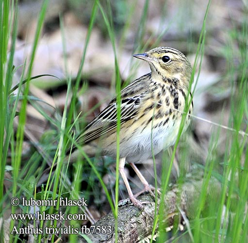 Anthus trivialis fb7583