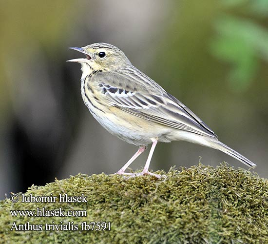 Anthus trivialis fb7591