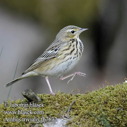 Anthus trivialis fb7632
