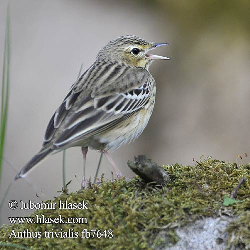Anthus trivialis fb7648