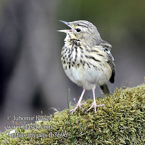 Anthus trivialis fb7696