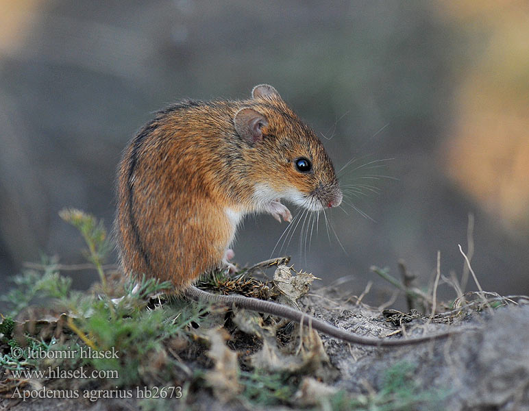 Αγροποντικός Apodemus agrarius Striped Field Mouse