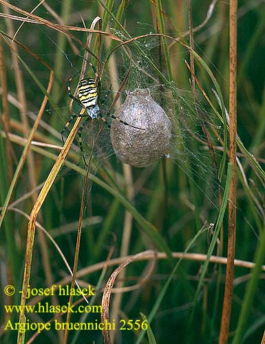 Argiope frelon Epeire fasciée Wespspin Wasp Spider Tiger