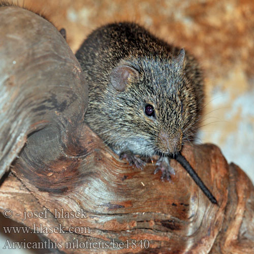 Arvicanthis niloticus African Grass Rat جرذ أفريقي