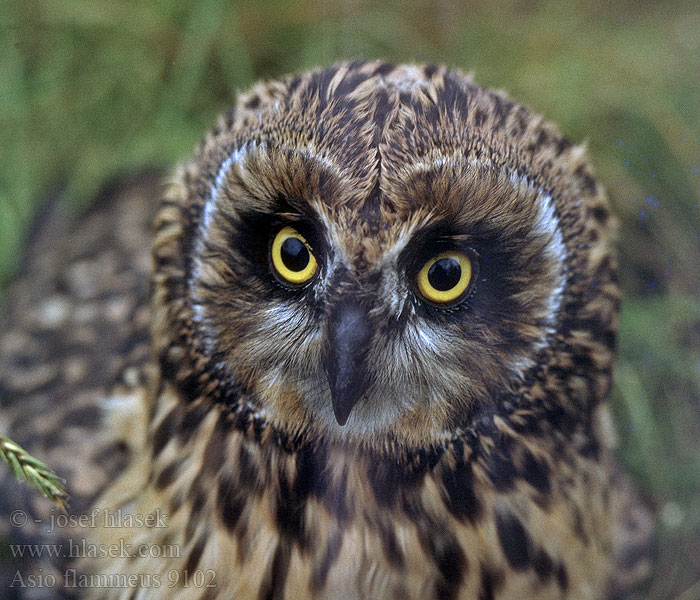 Asio flammeus Short-eared Owl