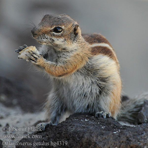 Atlantoxerus getulus Barbary ground squirrel