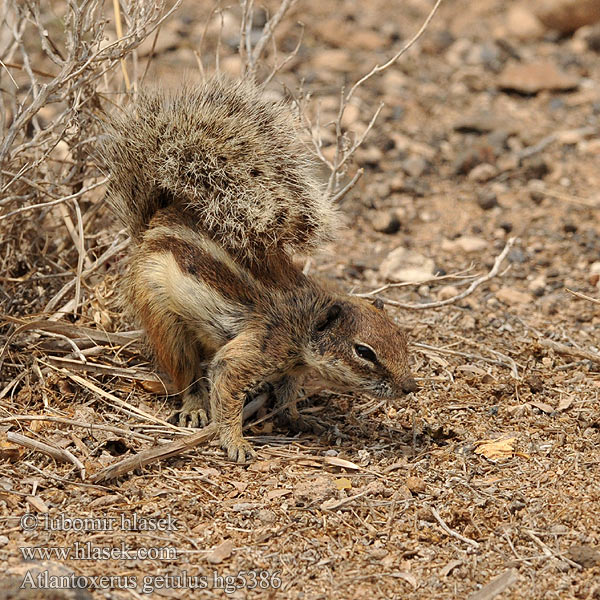 Barbary ground squirrel Atlantoxerus getulus