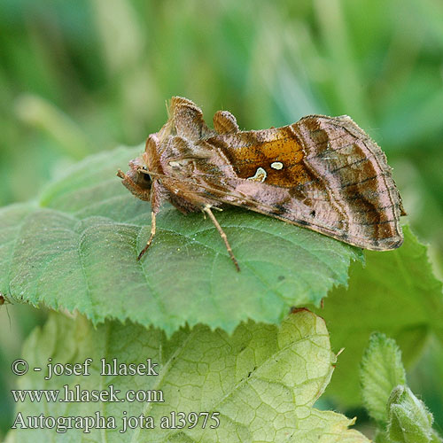 Металловидка йота Autographa jota Plain Golden Y
