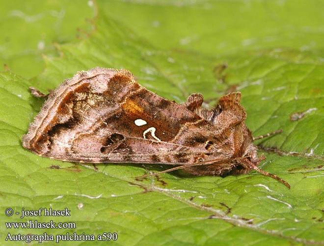 Autographa pulchrina Beautiful Golden Y