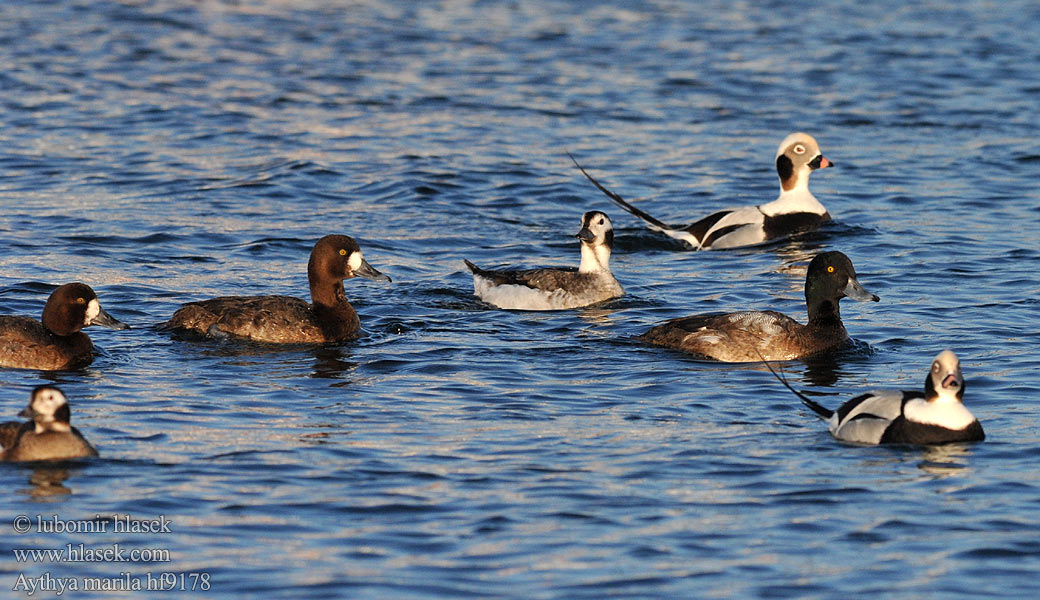 Aythya marila Greater Scaup Bjergand Pol�k kaholka