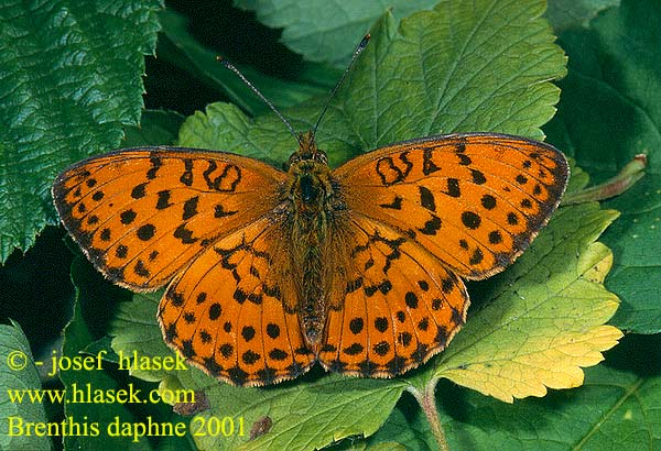 Brenthis daphne Marbled Fritillary Nacré ronce