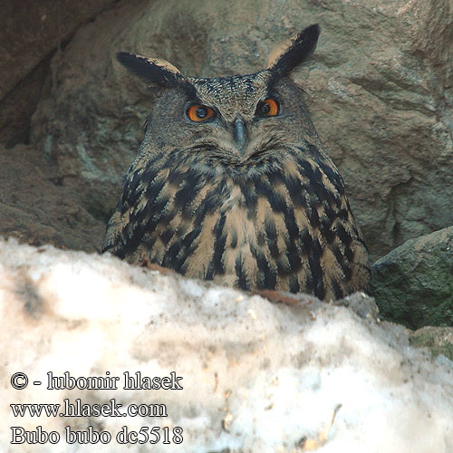 Kassikakk Bubo bubo Eagle Owl Uhu Grand-duc Europe