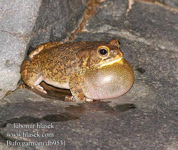 Оливковая жаба Bufo garmani Olive Toad Garman's Ropucha garmanova