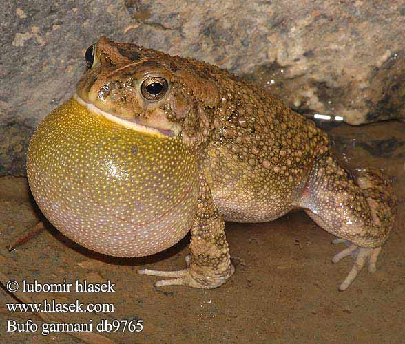 Garman's Toad Ropucha garmanova Оливковая жаба Bufo garmani Olive