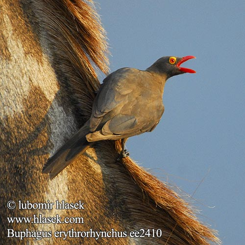 Buphagus erythrorhynchos Red-billed Oxpecker Rødnæbbet