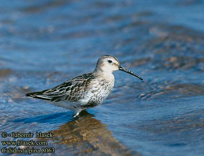 Calidris alpina 8063