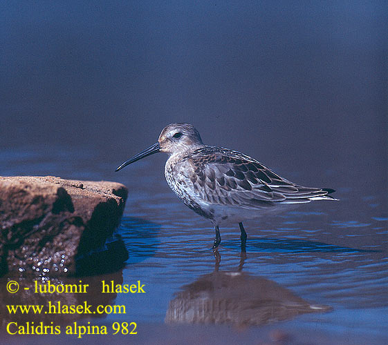 Calidris alpina 982