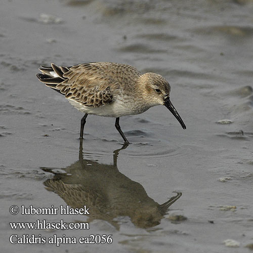 Calidris alpina ea2056