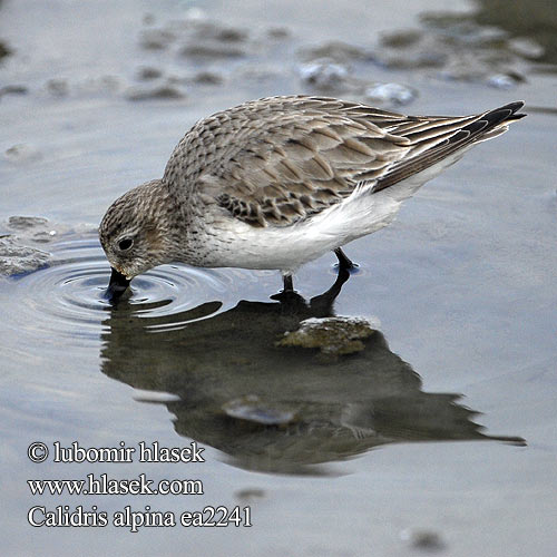 Calidris alpina ea2241