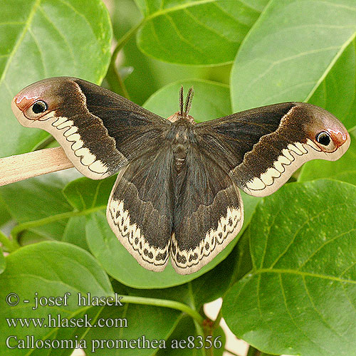 Callosamia promethea ae8356 UK: Promethea Moth