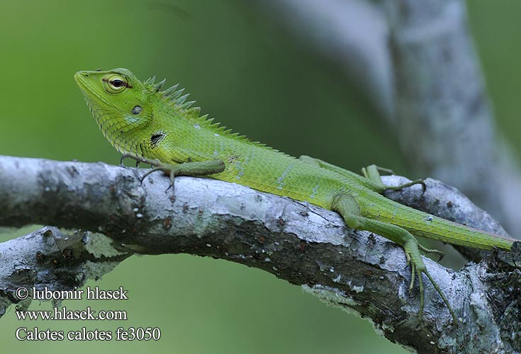 Lepoještěr obrovský 普通树蜥 Mężczyzna zielona jaszczurka ホンカロテス Обыкновенный кало Calotes calotes Common Green Forest Lizard
