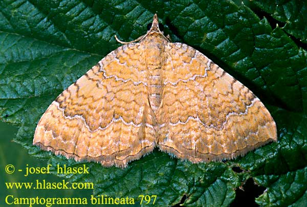 Camptogramma bilineata Yellow Shell Brocatelle d'or