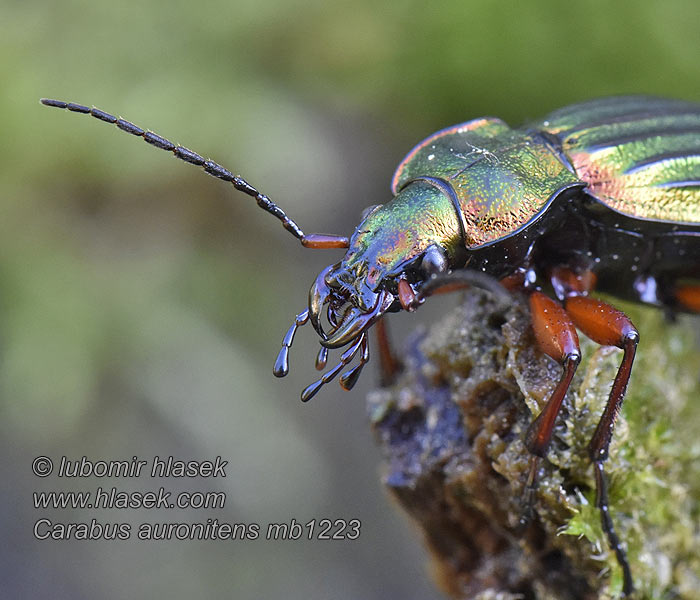 Golden ground beetle Carabe bronzé reflets d'or Carabus auronitens