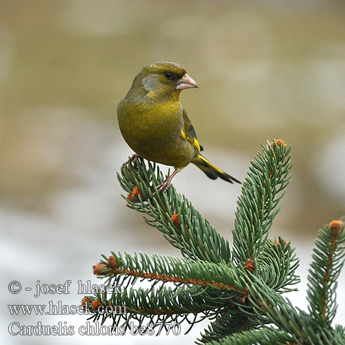 Зеленяк ירקון Carduelis chloris Greenfinch